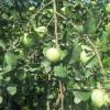 jabuka budimka