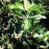 Sadnice jabuke zlatni delises-prodaja