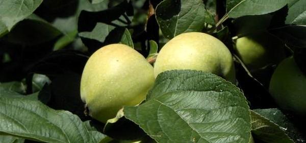 Budimka jabuka